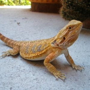 I also raise Australian Bearded Dragons.  http://www.mesquitebrushdragons.webs.com/