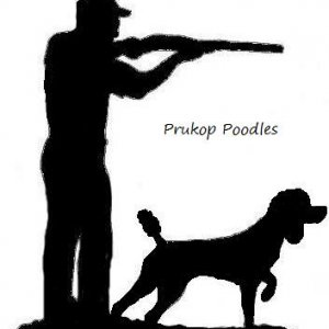 My old logo. Know known as Mesquite Brush Standards. I raise and breed standard poodles as retrievers. Dont worry. No foo foo hair cuts on my dogs.